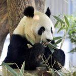 シンシン赤ちゃんの公開時期や名前は!?パンダの寿命が気になる!