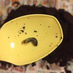 カブト虫の繁殖は意外と簡単!?産卵方法や孵化の時期について解説!